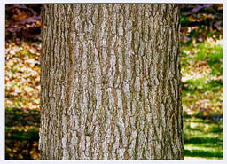 [Color photograph of bark of White Oak]