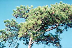 [color photograph of loblolly pine]