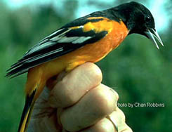 [color photograph of a Baltimore oriole in full breeding plumage]