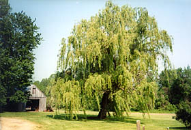 [color photograph of weeping willow tree]