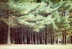 [color photograph of pines, Gunpowder Falls State Park, south of Bradshaw, Baltimore County, Maryland]