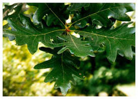 [Color photograph of Leaves of White Oak]