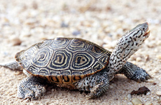 [color photos of a Diamondback Terrapin]